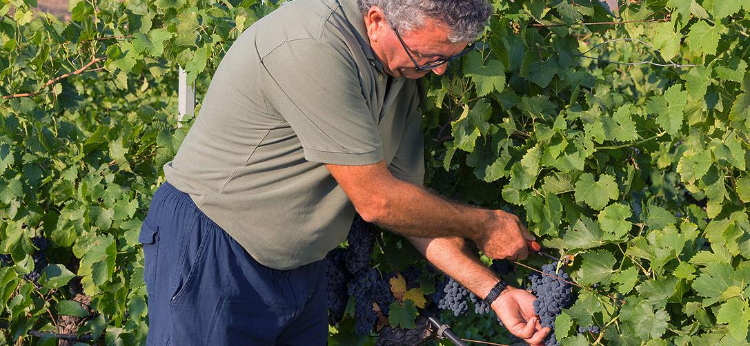 vendemmia raccolta grappolo uva